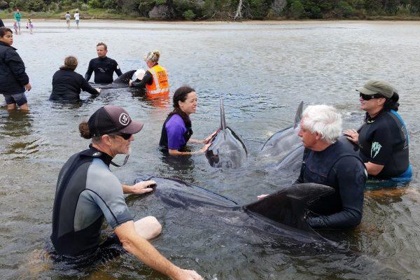 stranding at Mangawhai Heads in 2015